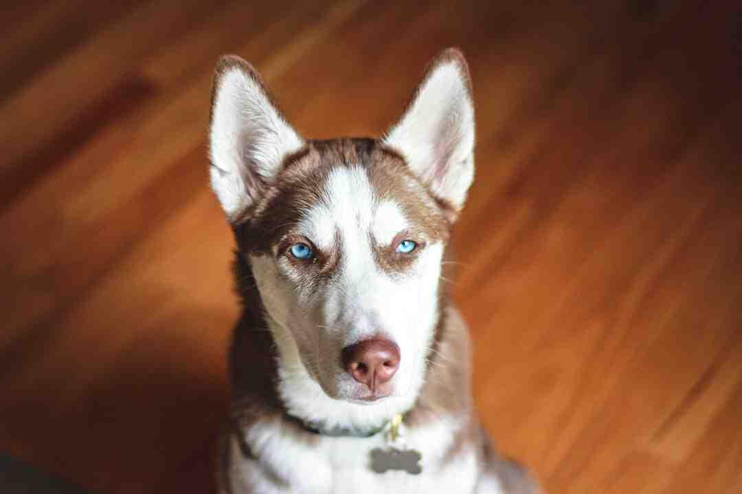Comment prendre soin d'un husky