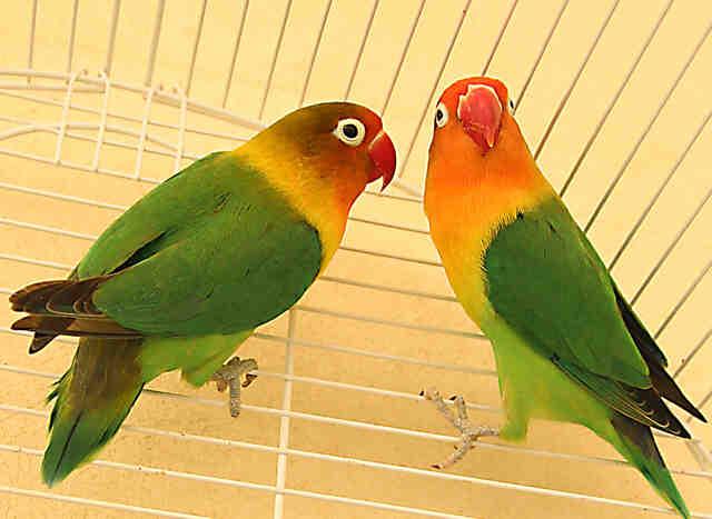 Comment les oiseaux font l'amour