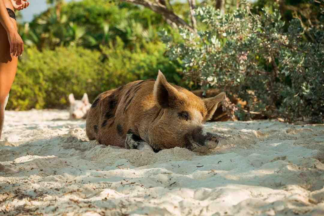 Comment savoir si son cochon d'Inde attend des petits
